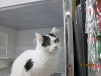 Turkish Van - Mikey - Large - Young - Male - Cat Very