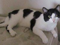 Turkish Van - Mr. Bugs (turkish Van Mix Cat) - Medium -