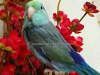 October babies Healthy Companion baby parrotlets