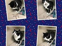 TUX's story TUX IS 3 YEARS OLD, NEUTERED, CHIPPED AND