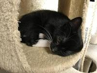 Tux's story black and white tuxedo kitten. Found with 3