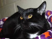 Tuxedo - 14 Of 30: Zazu - Medium - Young - Female -