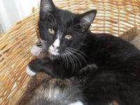 Tuxedo - Ace - Medium - Young - Male - Cat I am a very