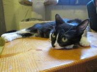 Tuxedo - Alice Renee* - Medium - Young - Female - Cat