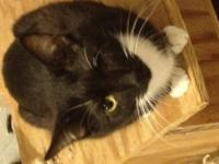 Tuxedo - Arya - Medium - Adult - Female - Cat Arya is a