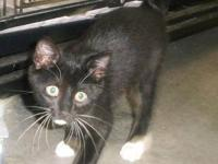 Tuxedo - Banjo - Small - Baby - Male - Cat THIS IS A