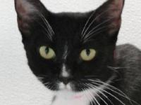 Tuxedo - Brandi - Small - Young - Female - Cat I am a