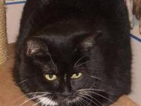 Tuxedo - Brayden - Medium - Adult - Male - Cat