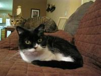 Tuxedo - Buckwheat - Medium - Adult - Male - Cat Meet