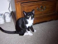 Tuxedo - Cameron - Large - Baby - Male - Cat Cameron is