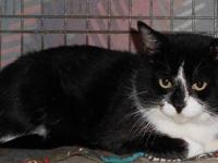 Tuxedo - Chopper - Medium - Adult - Male - Cat