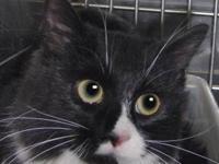 Tuxedo - Clementine - Medium - Adult - Female - Cat My
