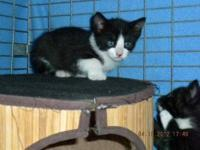 Tuxedo - Coco - Medium - Baby - Male - Cat This little