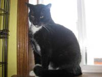 Tuxedo - Colby - Large - Adult - Male - Cat Colby -