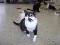 Tuxedo - Cookie - Small - Young - Female - Cat Cookie