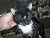 Tuxedo - Davy Jones - Medium - Senior - Male - Cat Davy