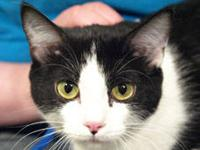 Tuxedo - Dilly - Medium - Young - Female - Cat Dilly is
