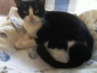 Tuxedo - Dixie Carter - Medium - Young - Female - Cat