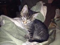 Tuxedo - Domino Dicarlo - Medium - Young - Male - Cat