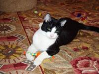 Tuxedo - Douglas - Medium - Young - Male - Cat Douglas