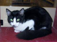 Tuxedo - Ebony - Medium - Young - Male - Cat Ebony is a