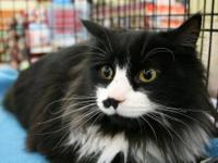 Tuxedo - Fluffy - Medium - Young - Female - Cat Fluffy