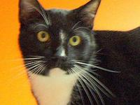 Tuxedo - George - Large - Young - Male - Cat test