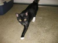 Tuxedo - Gummie Bear - Medium - Young - Male - Cat