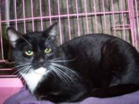 Tuxedo - Henry - Medium - Young - Male - Cat Henry is