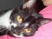 Tuxedo - Joey **kitten** *petco* - Small - Baby - Male