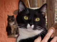 Tuxedo - Juliette - Small - Adult - Female - Cat