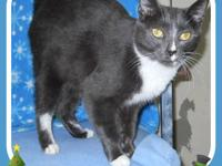 Tuxedo - Kilo - Medium - Adult - Female - Cat You can