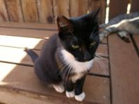 Tuxedo - Lily - Medium - Adult - Female - Cat I don't