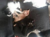 Tuxedo - Little Man - Medium - Baby - Male - Cat Hi I'm