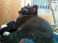 Tuxedo - Lucy - Small - Young - Female - Cat August 10,