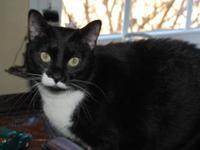 Tuxedo - Maha - Medium - Adult - Female - Cat DOB June