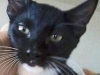 Tuxedo - Midnight - Small - Young - Female - Cat