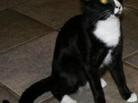 Tuxedo - Mittens - Medium - Young - Male - Cat MR