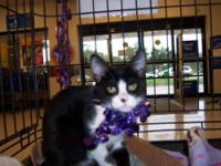 Tuxedo - Moonbeam - Medium - Baby - Female - Cat