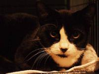 Tuxedo - Pepper - Medium - Baby - Female - Cat Pepper