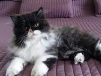 We have 1 CFA registered Persian kitten with Champion