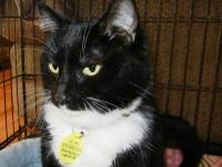 Tuxedo - Raisin - Medium - Adult - Female - Cat Raisin