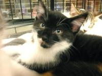 Tuxedo - Ricky & Sugar - Medium - Baby - Male - Cat