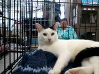 Tuxedo - Romeo - Medium - Baby - Male - Cat Romeo is a