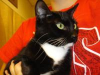 Tuxedo - Sandy- Sweet! - Small - Young - Female - Cat