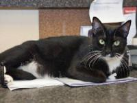 Tuxedo - Shannon - Medium - Adult - Female - Cat I am