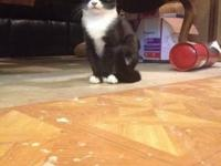 Athena is a 5 month old (born 1/6) tuxedo female. She's