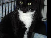 Tuxedo - Skyler - Large - Adult - Male - Cat Skyler is