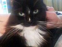 Tuxedo - Snax - Medium - Adult - Female - Cat Female