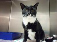 Tuxedo - Sparky - Medium - Adult - Male - Cat A very